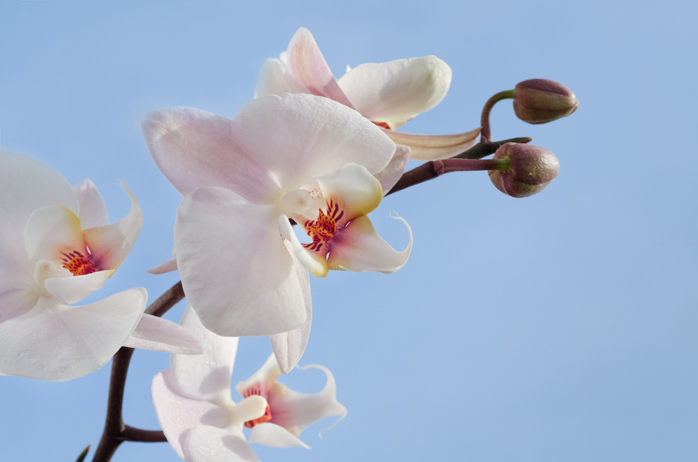 Orchid representing the highly sensitive person